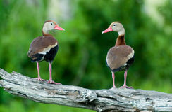 Ducks on branch. Series of duck photos on branches Royalty Free Stock Photo