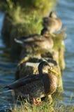 Ducks on the breakwater Stock Images