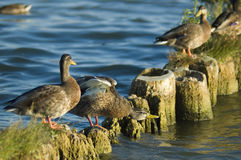 Ducks on the breakwater Royalty Free Stock Photos