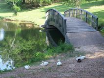 Ducks by bridge. Ducks sleeping by lake by beautiful bridge royalty free stock images