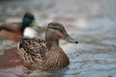 Ducks. A brown duck swimming. Cologne, Germany Stock Photography