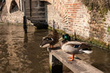 Ducks in Bruges. The ducks sitting on the wooden platform in te canal in Bruges Stock Photo