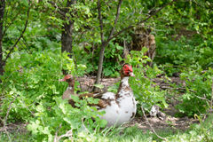Ducks in the bushes. Stock Image