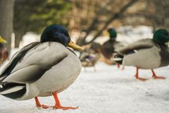 The ducks in front of Sapporo City Hall are the highlight of tourists visiting Hokkaido. royalty free stock photo