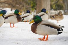 The ducks came out to warm the body after the heavy snow this night. royalty free stock images
