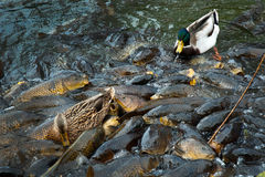 Ducks and carp. 2 ducks at the south bend zoo literaly walks across a school of fish in a pond as they all jocky for food from zoo goers Royalty Free Stock Photos