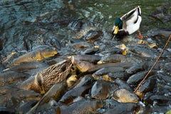 Ducks and carp Royalty Free Stock Photos