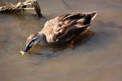 Ducks and carp Stock Image