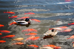 Ducks and carps Stock Photo
