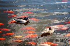 Ducks and carps stock photo