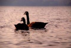 Ducks on Caspian Lake Greensboro Vermont Stock Image