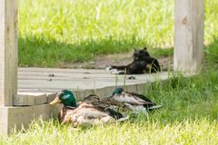 Ducks and a cat rest on the grass under a canopy. royalty free stock photography