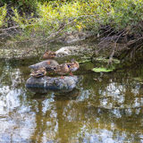 Ducks in the Chicago River within Middlefork Savanna Stock Photo