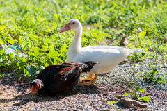 Ducks and chicken on a dung hill Royalty Free Stock Images