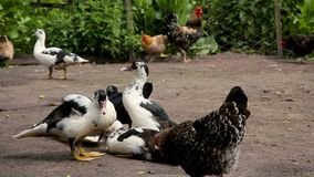 Ducks and chicken at the farm stock footage