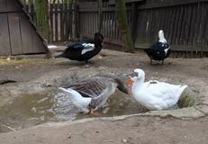 Ducks and chickens. In a farm royalty free stock image