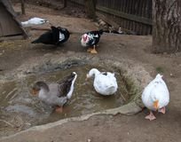 Ducks and chickens. In a farm stock photography