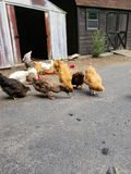 Chickens and ducks stock photography