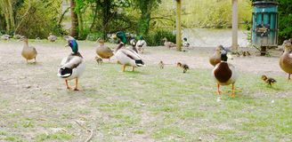 Ducks wandering all over the place royalty free stock image