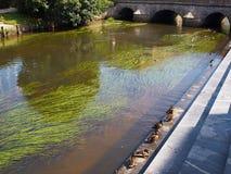 Ducks in city. Mallard ducks in the city by small river Vejle Denmark Stock Photos