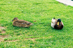 Ducks in a city park in Solin, Croatia, enjoying by the water.  Stock Photo