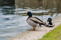 Ducks in the city park Stock Photos