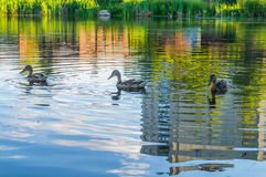 Ducks on a city pond Stock Image