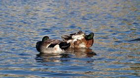 Ducks claeaning  in a lake stock video footage