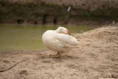 Ducks cleaning itself stand on ground near pond. Countryside sce royalty free stock photo
