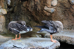 Ducks cleaning themselves on a big rock. Royalty Free Stock Photos