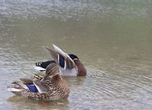 Ducks cleaning themselves on lake schwarzsee in fribourg. Beautifully coloured feathers stock photo