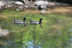 Ducks in The Cleveland Metroparks Royalty Free Stock Image