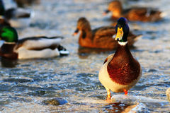 Ducks at cold pond water. Wild ducks at cold pond water Royalty Free Stock Photos