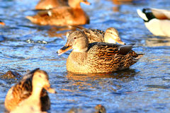 Ducks in cold pond water. Wlid  ducks in cold pond water Stock Photography