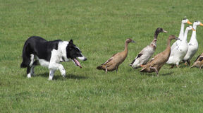 Ducks & Collie Royalty Free Stock Images