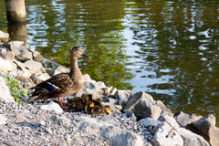 Ducks. Color DSLR image of mother duck and baby ducklings by the water Stock Photos