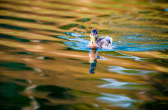Ducks colorful water Stock Images