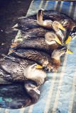 Ducks for consumption are being sold on a Vietnamese market Royalty Free Stock Images