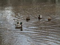 Ducks and Copy Space. Circle of wild ducks in a dirty pond with muddy water Stock Images