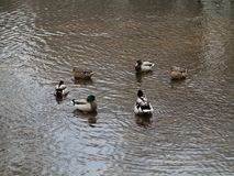 Ducks and Copy Space. Circle of wild ducks in a dirty pond with muddy water Royalty Free Stock Photos