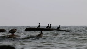 Ducks and cormorants in East Sea, Göhren, Germany stock footage