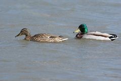 Ducks couple. Couple of enamored ducks; Mallard (Anas platyrhynchos Royalty Free Stock Images