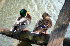 Ducks couple royalty free stock image