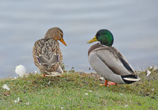 Ducks couple. Couple of mallard near the lake Stock Photography