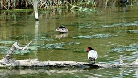 Ducks. A couple of ducks chilling out in a pond stock footage