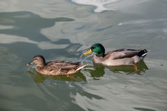 Ducks couple on a green water pond. Stock Photos