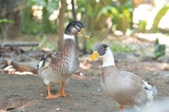 Ducks couple. A Ducks at lake  in Sri Lanka Royalty Free Stock Image