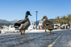 Ducks couple. In love walking on the sidewalk Stock Photos