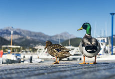 Ducks couple. In love walking on the sidewalk Royalty Free Stock Photos
