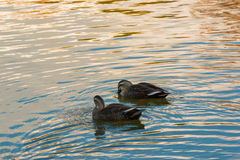 Ducks couple swimming in the river. Stock Image